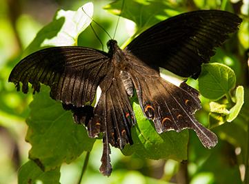 20170519101907AMWayanadWild-butterflyforweb.jpg